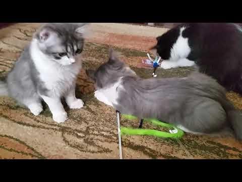 RagaMuffin Kittens - Dazzle, Peek-A-Boo, and Stargazer