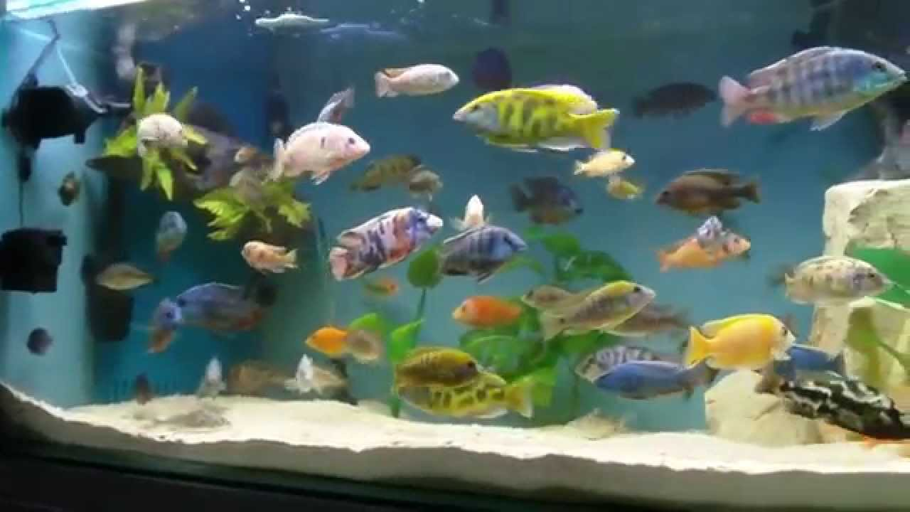 African cichlid 100 gallon tank update 14 youtube for 100 gallon fish tanks