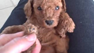 Meet Rosie, The Pretty Toy Poodle Puppy For Diana