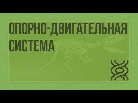 Вопрос: Какие особенности строения характерны для животных отряда Рукокрылые?
