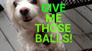 The Adventures of Becky & Oliver - Playing With Squeaky Balls! Thumbnail