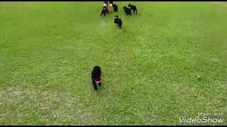 スキッパーキの子犬たちが楽しく遊ぶ様子です.