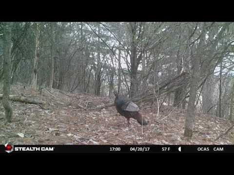 Hurd Grassland Turkeys
