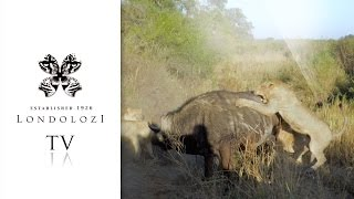 Pride of Lions Attack and Bring Down Old Buffalo Bull - Londolozi TV