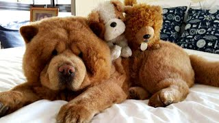 This Adorable Dog Is So Fluffy People Mistake Him For A Stuffed Animal