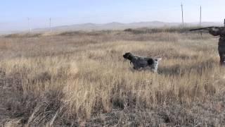 Охота на серую куропатку с дратхааром в Забайкалье