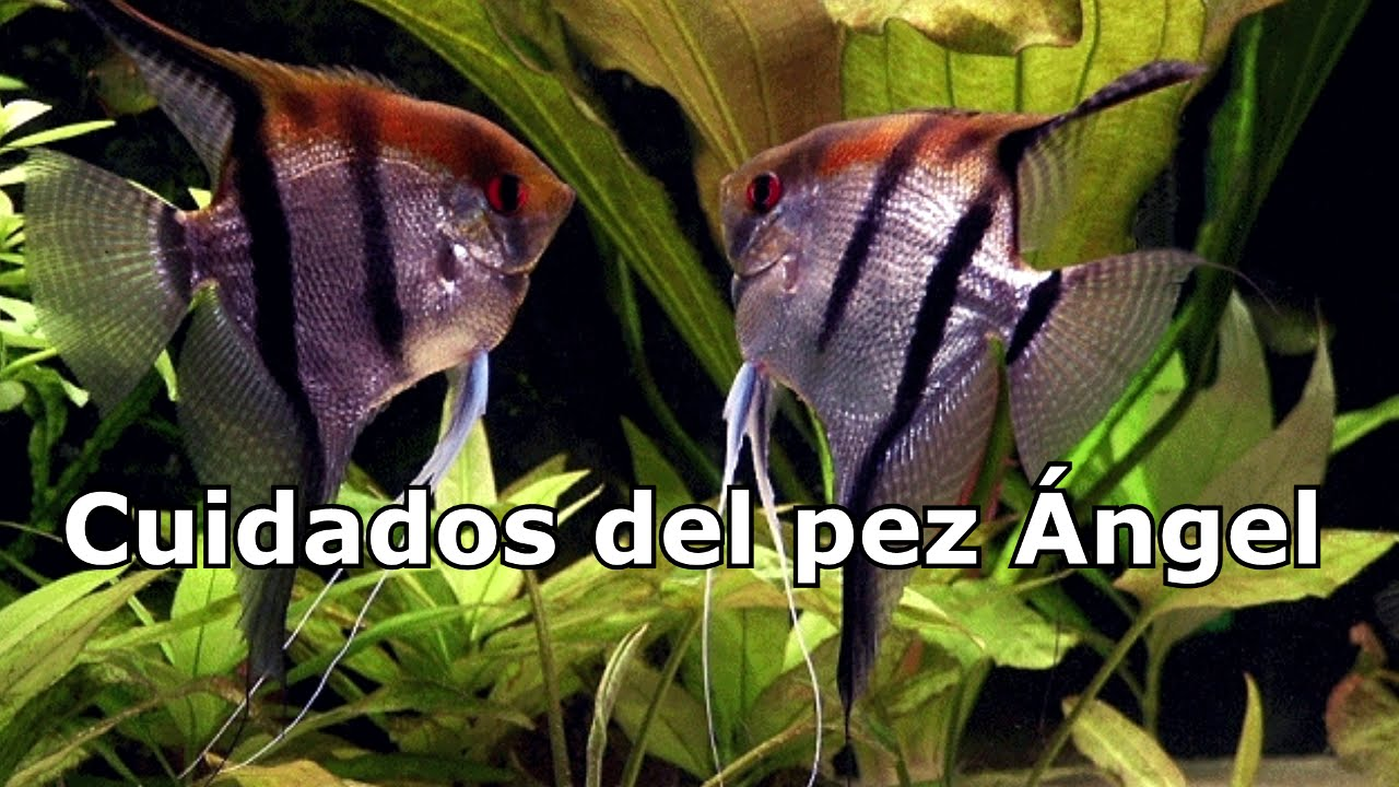 Cuidados del pez angel youtube for Cuidado de peces