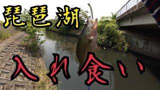 バス釣り琵琶湖遠征2日目 入れ食い!
