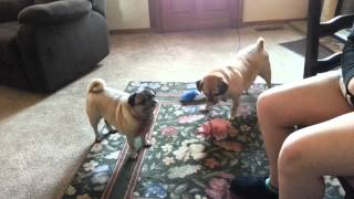 Pug And Puggle Playing