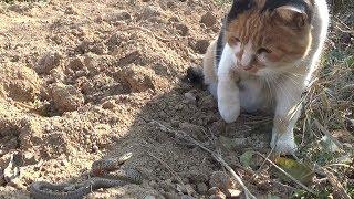 고양이와 뱀의 결투- 낭펀치 120회 이상 날림 (재생시간 약24분)
