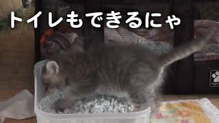 赤ちゃん猫、ひとりでトイレできました!(子猫を保護その13)