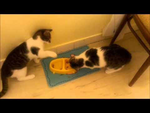 Twin Cats fighting for food - Funny animal