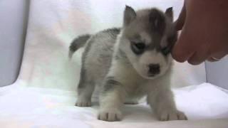 シベリアンハスキーの子犬.