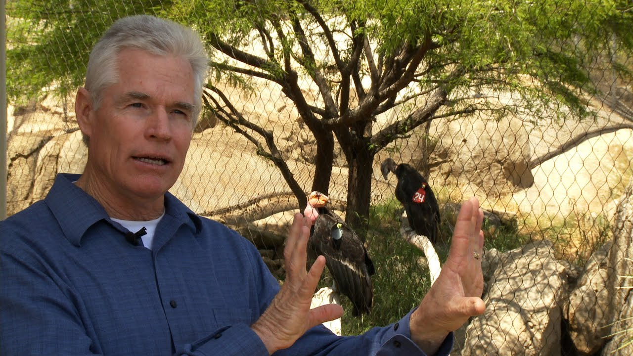 michael mace on the california condor recovery effort michael mace on the california condor recovery effort