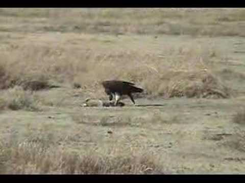 HUNGRY VULTURE IN AFRICA