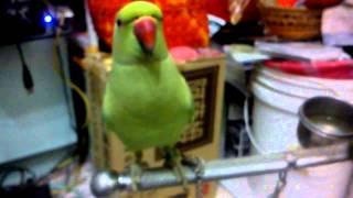 我養的月輪鸚鵡快要一歲了很愛講你好