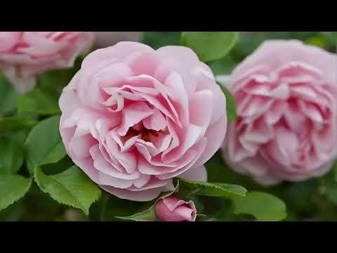 Вопрос: Какой порядок действий с розами из посылки (пошагово)?