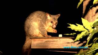 Australian Brushtail Possums. Filmed with Sony NXCAM