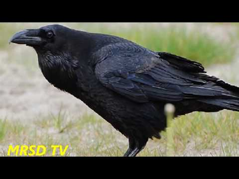 Crow The Most Intelligent Bird In The World! Top 48 Most Intelligent Animals #48