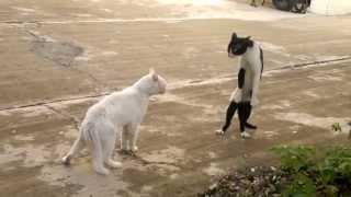 Кот встал на дыбы)) драка котов.