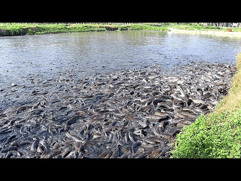 Feed Ingredients And Feeding For Million Catfish In Commercial Farm Ponds|Fish Feeding Ecomorphology