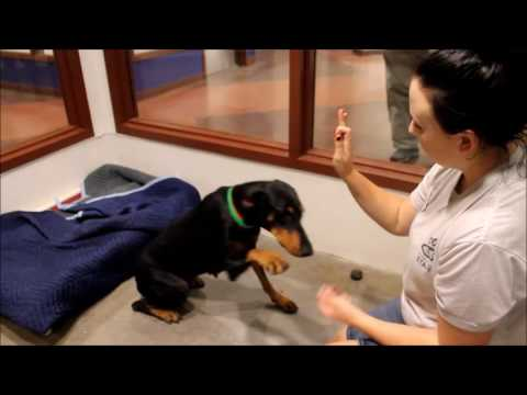 Meet Kimmy a Doberman Pinscher currently available for adoption at Petango.com! 10/10/2016 8:31:11 P