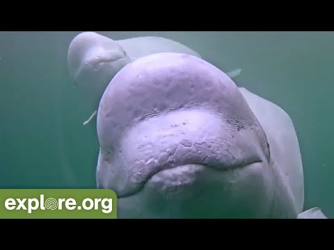Five Fascinating Facts About Beluga Whales - Never Stop Learning