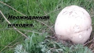 Шокирующая находка. Гигантский гриб