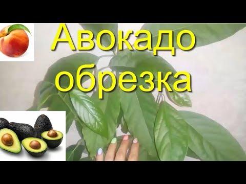 Как прищипывать авокадо в домашних условиях