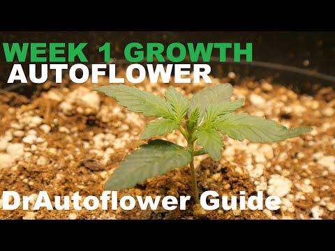 WEEK 1 AUTOFLOWER CANNABIS GROWTH – DRAUTOFLOWERS BEGINNER GUIDE