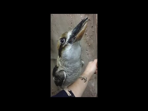 DJ Potato & Leda - Kookaburra