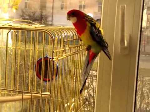 Попугай розелла 3 года