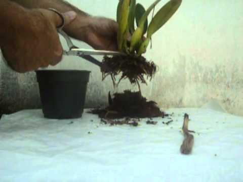 Como plantar youtube - Como cuidar orquideas en maceta ...