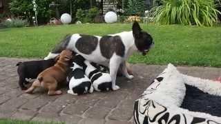 Französische Bulldoggen Welpen Im Garten