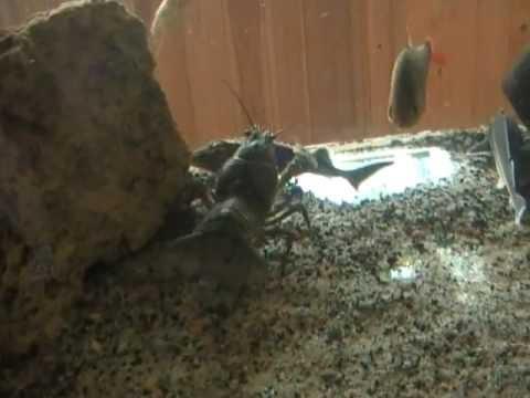 Речные рыбы в обычном аквариуме
