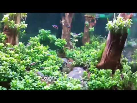 Full Ráy Nana petite in Aquarium Tank