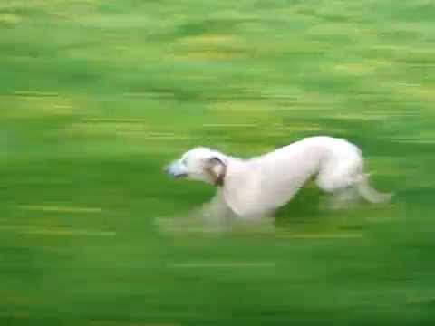 Whippet running  at speed close up