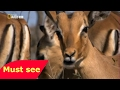  DOCUMENTALES DE ANIMALES   LA MANGOSTA  ANIMALES SALVAJES ,discovery,national geographic,docu
