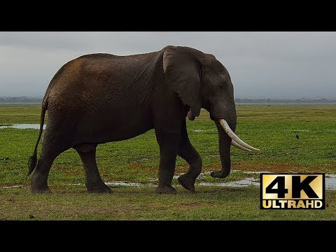 Kenia safari. Amboseli National Park. Mount Kilimanjaro. Kenya travel. Holiday in Kenya. 4K.