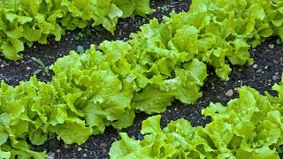Зимовий салат та шпинат - мої спостереження