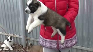 Открыто бронирование туркменских щенков. Питомник ''Шилеле''