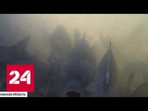 Африканского сома, тилапию и сибаса будут выращивать в рыбхозах Московской области - Россия 24