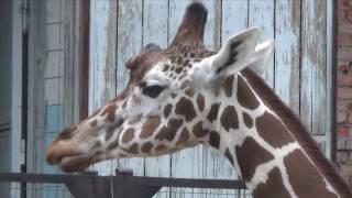 Жираф Луга, побил все рекорды долголетия!