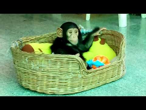 Look cute!!!! Baby Chimp play toys in basket