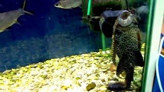 Аквариумная рыба - Сомик Парчовый птеригоплихт. Аквариумистика