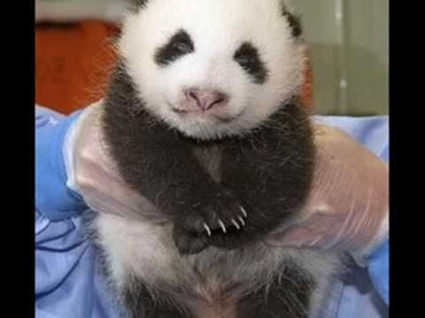 Panda lost their home in the earthquake Wolong