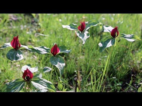 Rare Blooms in Glen Ellyn, IL!