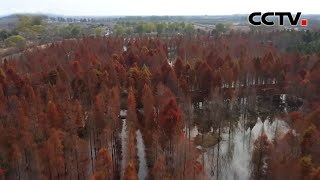 江苏泗洪:万株水杉一抹红 层林尽染冬日美 |《中国新闻》CCTV中文国际 - YouTube