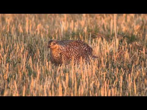 Shooting with Sparky—Sharp tailed Grouse Dance Party 1