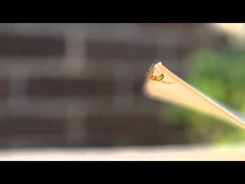 Araneus cucurbitina